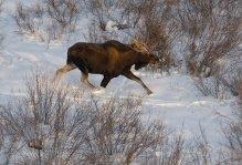 видео охоты на лося