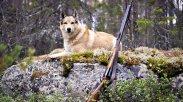 Охотничья лайка, охота с